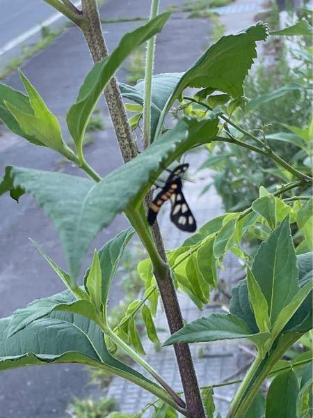 この蛾(恐らく蛾の一種)の名前を教えていただきたいです!画像が粗くて申し訳ありません。
