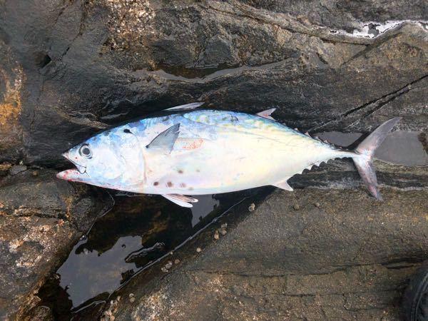 この魚はスマですか? 種類まで詳しくわかる方いたら教えてください。