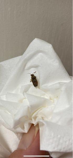 この虫の名前知ってる方いませんか? 食品を置いてるところにいました。