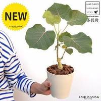 観葉植物についての質問です。 フィカスウンベラータを購入しようと思い、ガーデンショップに行った時に疑問に思ったので質問させていただきます。 まだ10センチほどの高さのフィカスをバッサリと幹を切って脇芽が生えてきて、その部分が成長している状態で販売しているのをよく見かけますが、なぜ小さいうちに幹を切ってしまうのでしょうか? 幹を切らない方が上に伸びていくと思うのですが、なぜ小さい段階で成長...