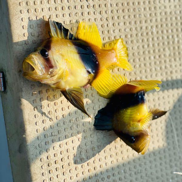 熊本の芦北で釣りしたんですけど この魚がうじゃうじゃ居るんですけど… 何という魚なんでしょう?? 食べれるんですかね??