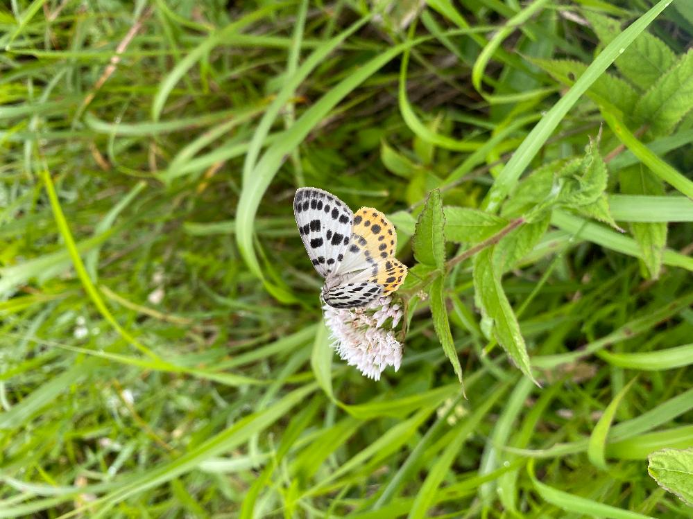 この蝶の名前がいくら調べても見つかりません。ミヤマシジミの2倍くらいの大きさでした。花を開くと3cmくらいだったと思います。長野県は車山高原の標高1600m付近にたくさんいました。