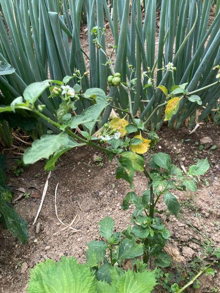 畑に生えていたこの植物は何というものでしょうか! 詳しい方教えてください!