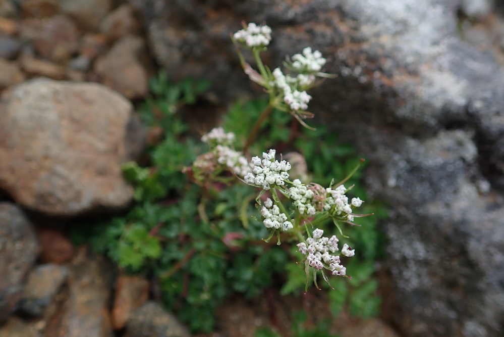 御岳山(長野)で見ました。 葉が、他の植物と混じっているかもしれませんしわかりずらい画像で申し訳ありませんが、植物名をおしえていただけますでしょうか。