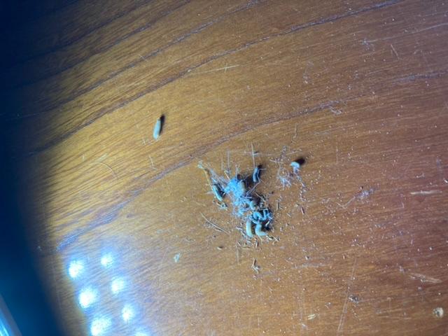 この虫は何でしょうか。 キリなく床の間の天井から落ちてきます。