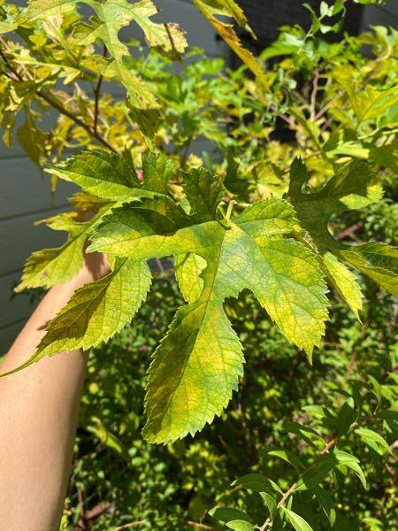 庭に生えていた木の葉っぱなのですが、こちらは何という種類の木になるかお分かりになる方いらっしゃいますか? 画像検索をしたら梶の木と出てきたのですが正確に分からず質問させて頂きました。