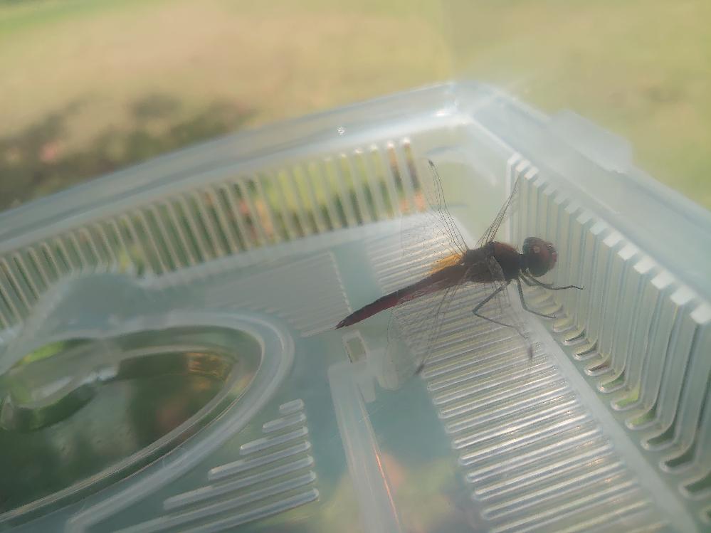昆虫の名前を教えてください。 トンボを捕まえました。