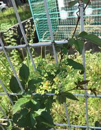この植物の名前はなんでしょうか。 つる性植物を調べています。近所にいい感じに巻いている植物が生えているのですが、名前がわかりません。花らしきものが咲いていました。 詳しい方是非教えてください!よろしくお願いします!