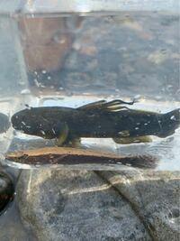 夏休みの自由研究を頑張る親子です。 この魚2匹の名前が分かるかた、教えた下さい。  よろしくお願いします。