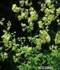 2mほどの背丈の草の名前を教えてください、 岐阜県米田白山で、 撮影20210801