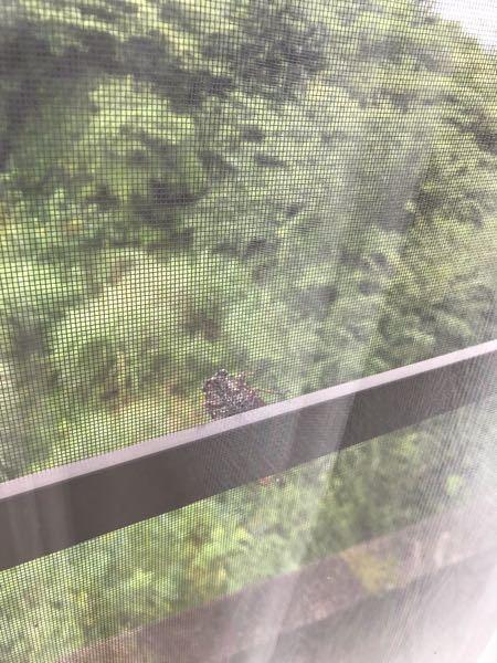 毎日のように同じ窓の網戸に蝉が来ます。 一匹だけです 同じ蝉の可能性が高いでしょうか? 虫に詳しい方教えてください