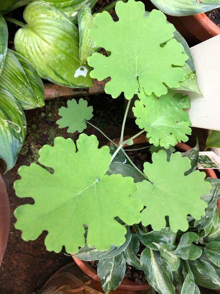 この複雑な形をした植物の名前を教えて下さい。通販で購入した植物の根本から出現しました。可愛いので毎日楽しみに眺めています。よろしくお願いします。