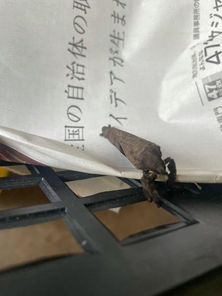 今日見かけたのですがこの虫は何という虫ですか? 分かりづらい写真ですみません。 顔は結構可愛かったです。 枯れ葉かと思いましたが違いました。