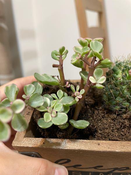この植物の名前を教えて下さい。 ダイソーで購入しました。 多肉植物の棚にあったので、おそらく多肉植物だと思います。