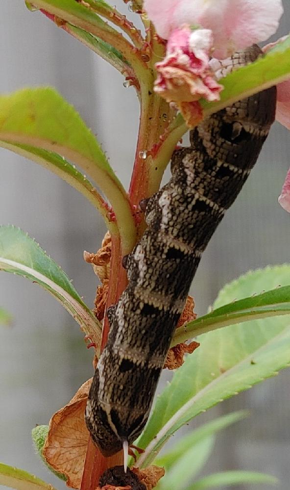 写真の幼虫はなんの幼虫かわかりますか?