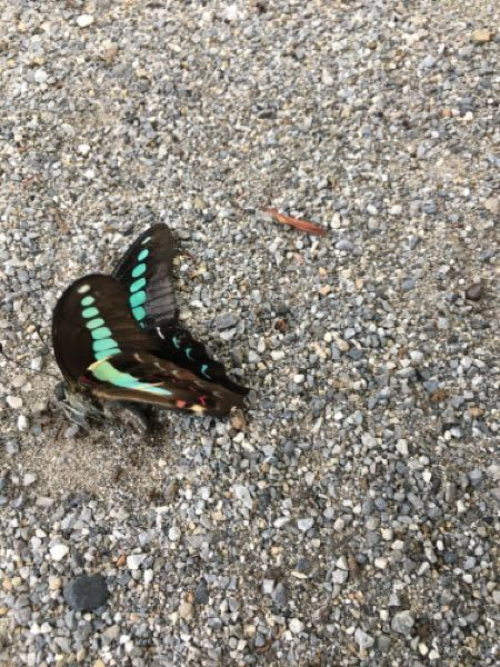 この蝶々、名前教えてください