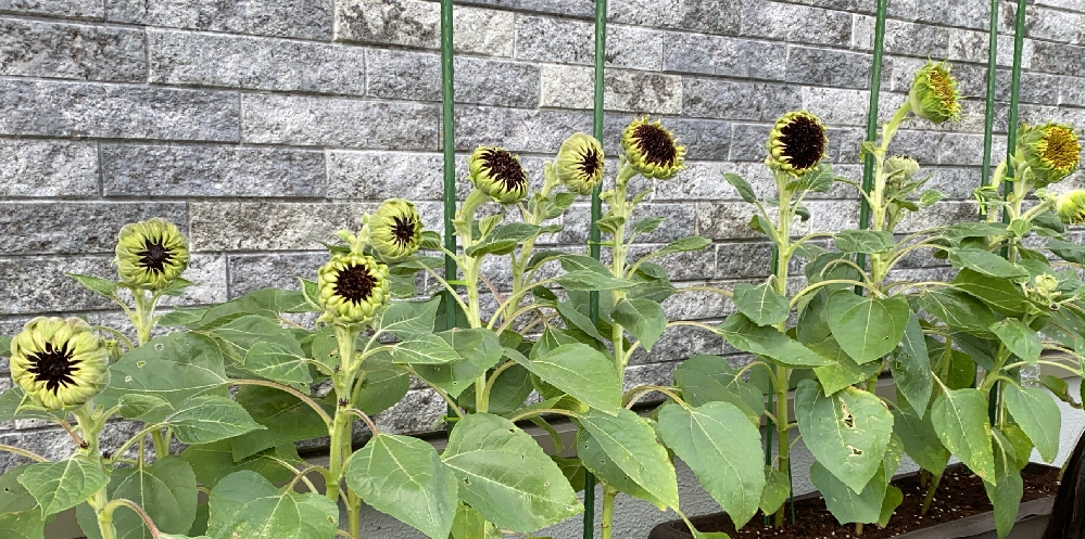 ミニひまわりの花が開きません。 南側に置いているので日照は問題ないと思います。水やりも欠かしていません。種からすくすく育って蕾ができて膨らんで、、と思ったら、ひまわりの象徴のあの黄色いのがパーっとなりません。子供たちも成長を楽しんで毎日見ていましたが、肝心の花が、、、 色々ネットで検索しましたが、この状態で止まると言う現象は見つけられませんでした。これはどう言う状態なのでしょうか?? 蕾が開き始めたなーってなってからもう3週間この状態です。 まだこれから開くのですか?もうダメですか? わかる方教えていただけますか?
