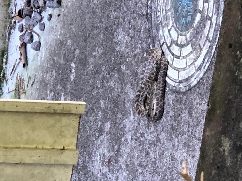 この蛇なんですか?わかる方いますか? 胴回りは見た感じ直径2cmくらいで、長さは2〜30cmくらいです。