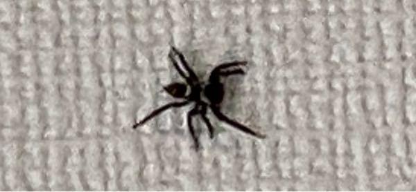 家の壁にいたクモなんですけど、このクモの種類はなんですか? 毒とか持ってたりするのでしょうか?