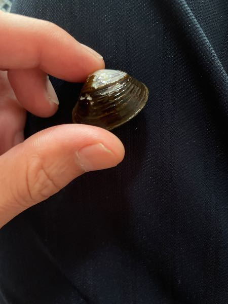 子供と川で見つけて取ってきたのですが この貝は何という貝ですか? また水槽で飼育は可能でしょうか?