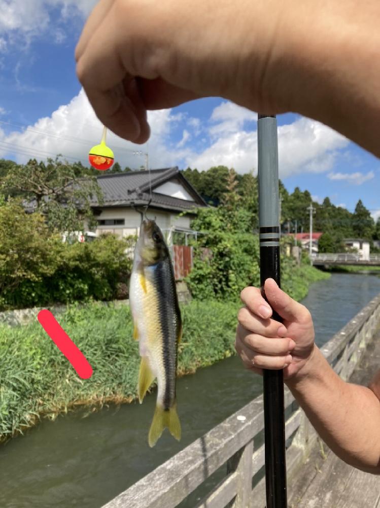 川魚について教えてください。 近所で釣った魚の画像なのですが、これはなんていう名前でしょうか? 食べられますか? よろしくお願いいたします!