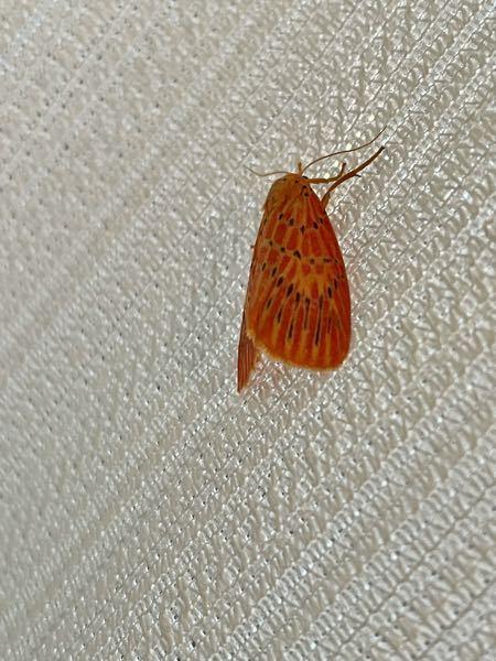 この蛾はなんて名前ですか?