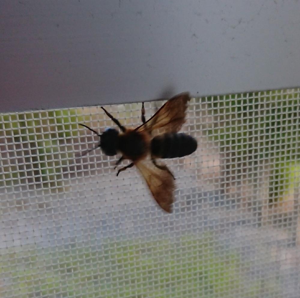 密閉されていた家の中に蜂みたいのがいました。 しっぽに針はなさそうですが危なく無いですか?