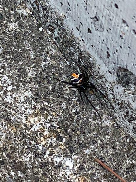 駐輪場でこんな蜘蛛を見かけたのですが、この蜘蛛はセアカゴケグモですか?どなたか分かる方見ていただけませんでしょうか。 因みにセアカゴケグモだった場合の事を考え踏んで潰しました。