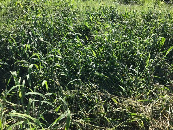 この雑草の名前分かる方いらっしゃいますか? 3か月前に畑をトラクターで耕運したら、少なかったこの雑草が大量に発生しました。 今回もトラクターで耕運したところ、すぐにロータリーに絡まり、耕運するこ...