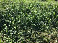 この雑草の名前分かる方いらっしゃいますか? 3か月前に畑をトラクターで耕運したら、少なかったこの雑草が大量に発生しました。 今回もトラクターで耕運したところ、すぐにロータリーに絡まり、耕運することが出来ません。 効率の良い方法も併せてご教示お願いします。