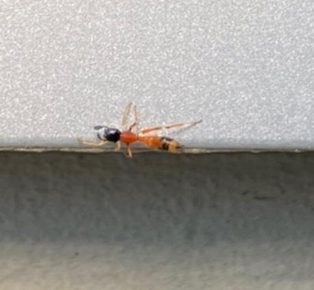 家の中で見つけました。 この虫は何でしょうか? ヒアリでしょうか。