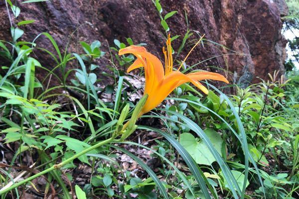 これはなんという草花ですか? 高知県の海沿いの道で撮影しました。 よろしくお願いします。