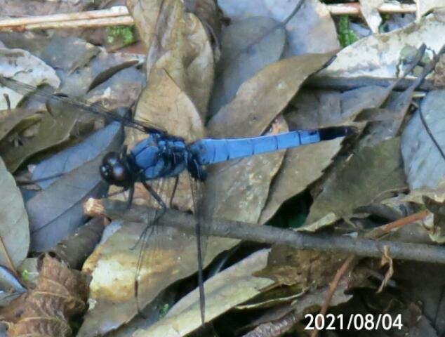 青いけどシオカラトンボですか♪ 岐阜県米田白山で 撮影20210804