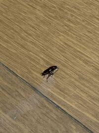 これってゴキブリの赤ちゃんですか?