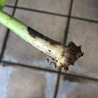 紫陽花の挿し木について 発根はしているのですが、茎部分が一部茶色くなってきてしまいました。これは挿し木失敗ですか?原因などわかれば教えていただけると嬉しいです
