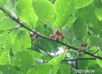 赤い実はアオハダの実ですか? 岐阜県米田白山で、 撮影20210815