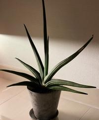 この観葉植物の名前わかる方教えてください。