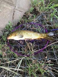 近所の川で釣れた魚です。これは外来種の鯉ですか?