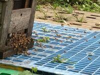 ミツバチの箱の前でミツバチが激しく飛びかっています。何が起きているのでしょうか。近くに置いた粘着板にはスズメバチが何匹か引っかかっていました。