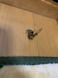 閲覧注意です。 家に死んでいました。スズメバチの仲間でしょうか?