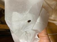 家で虫の死骸をみつけたのですが、これは何の虫でしょうか?