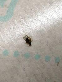 潰しちゃったんですがこの虫がいっぱい部屋に出ます。 コバエホイホイで対策できますか?