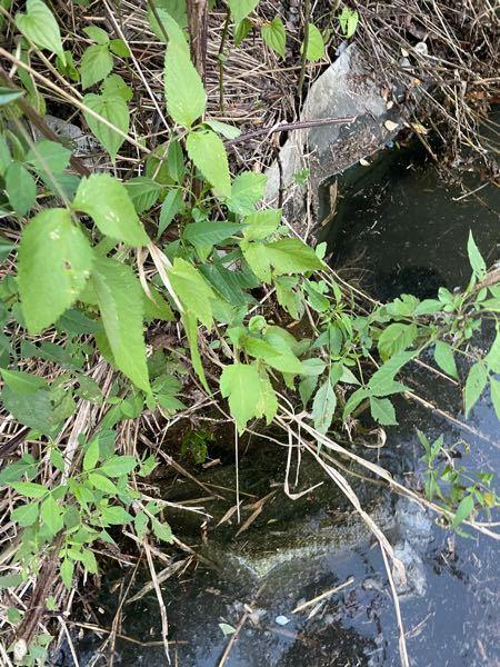昨日、池でミシシッピアカミミガメが水面から顔を出して陸に生えてた草を食べてたのですが、 ミシシッピアカミミガメが好んで草を食べることってあるんですか? イシガメならあるかと思うのですが… この池には餌となる魚類や水生生物がかなりいます。 アカミミガメが好んで草を食べるのか? この草の名前を教えていただきたいですm(_ _)m