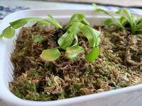 ハエトリソウについて質問です。 育てて4ヶ月ほど経つハエトリソウですが、一部の捕虫葉が色褪せてきました。白くなってきたんです。 新しい葉は出てきてるので、植物自体が枯れた訳じゃないと思いますが心配です。 原因として考えられることを教えてください。回答よろしくお願いします。
