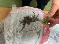 このクモの名前はわかりますか?突然家に出てきてびっくりして、、毒蜘蛛だったら怖くて、、どなたか詳しい方わかりますでしょうか。 サイズは10cmないぐらいです。色はこげ茶で足が長いです。