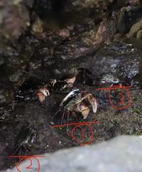 カニの種類を、教えて下さい 写真の真ん中の大きな蟹の種類がわからないので、詳しい方教えていただけると嬉しいです。  よろしければ、判別方法も押さえていただけますと幸いです。 野島埼灯台の岩間にいました。  よろしくお願いいたします。