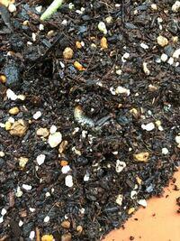植木鉢の中にこんな幼虫が何匹かいました。 カブトムシの幼虫より小さくて細くて黒に近いグレーが透けているような色味です。 これは何でしょうか? どうしたら良いのでしょうか?