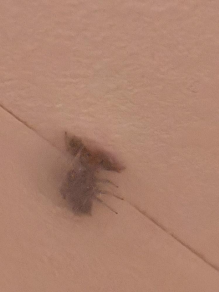 【写真あり】ハエトリグモ(恐らく)が天井に白い膜を張って出てきません。膜の中に黒か茶色の別の物体があるように見えるのですが、これは卵か何かですか。画像はかなり拡大してます。 調べたら卵嚢とか産卵とか、そんなワードばかりヒットして不安で仕方ありません。蜘蛛が大の苦手ですがなんとか排除したいです。別の物体が何なのかと駆除のアドバイスをお願い致します。