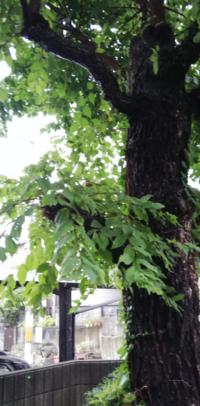 木の成長をコントロールしたい。 私の家にはケヤキの木が生えているのですが、格好悪い成長で困っています。低いところから生えた太い枝をチェーンソーでバッサリきったら翌年から細い枝が細かく生えてきてとても汚らしくなりました。画像の一番下の枝です。  このバッサリきった枝からはもう何も生えないでほしいのですが、生えないようにする方法はないでしょうか?