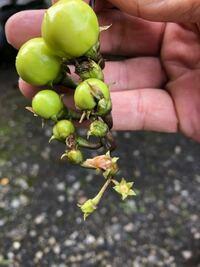 この植物は何ですか?なすともらって植えましたが写真のような実がつきました!わかる方教えてください